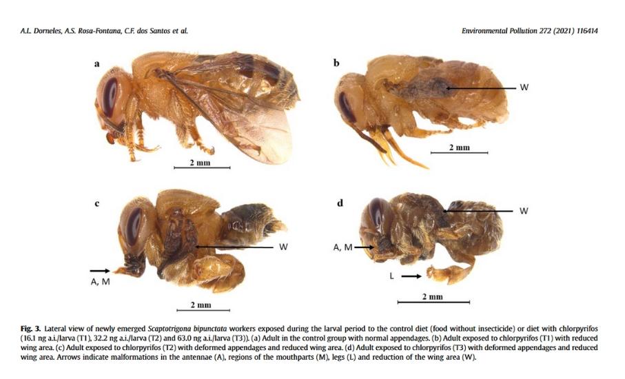 abelhas larvas formação agrotóxico